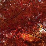 楓(かえで)の色づき。ぼやぼやしてるうちに完璧な赤。ああ、となると晴れた日の夕刻まじかのあの場所にいかなくちゃと思う(*'▽')/旧暦11/9・丙子