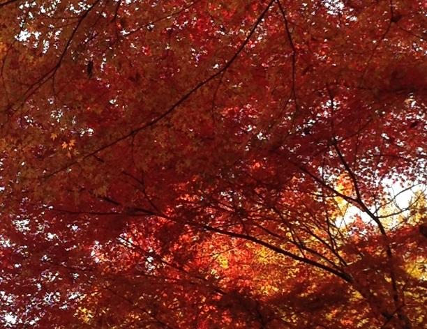 小石川後楽園 楓