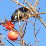 七十二候は「雉始鳴」に。ご近所で「雉」に逢うのは難しく、しかし、そういや野鳥に遭遇多数(*'▽')/旧暦12/23・己未