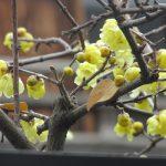 「大寒」すぎて、一番寒そうな七十二候「水沢腹堅」の頃こそ黄色い花。暦には出てこないのはなんで?香しい「蝋梅(ろうばい)」咲きました(*'▽')。/旧暦1/3・己巳