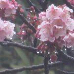 寒気だ!東京にも雪だ!!と天気予報。もしや池も凍るか?と観察に出かけましたが…凍るどころか「寒桜」咲く(-_-;)。/旧暦1/5・辛未