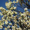 今年は開花が遅いからなぁ…とぼんやりしてたら咲きまくってますっ「梅の花」。そういえば「梅まつり」もスタートですね(*'▽')/旧暦1/14・庚辰
