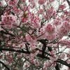 そーいえば、七十二候「魚上氷」の時期は「寒桜」咲く。…どころか今年は「河津桜」も「大寒桜」も咲いてますっ!/旧暦1/25・辛卯