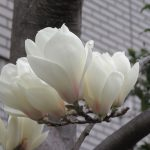 あそこに白く咲いてる花は何?よーくよく見たら、もう「白木蓮」咲き始めてます💦 早っ(◎_◎;)/旧暦2/4・庚子