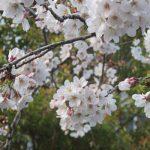 七十二候は「桜始開(さくらはじめてひらく)」に。暦は、今頃のんびり開花宣言してますが、リアル桜は、今が盛りになっています💦。/旧暦3/3・戊辰