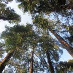 春の小石川植物園。桜並木を眺めたあとは思い立って奥へ奥へ、針葉樹の森で見つけました!秋・冬からのギフト(*'▽')/旧暦2/24・庚申