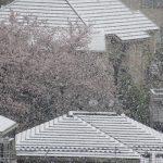 東京の街にも、名残り雪。満開の桜に花びら散るようにはらはらと降る。これも涅槃雪って言っていい?無理かな?/旧暦3/7・壬申