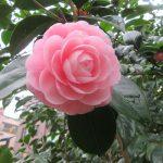 ホントによく咲いてる花なのに、まさか今年は出会えないのか?…と思いましたが、無事遭遇。やっぱ可愛いねぇ「乙女椿」(*'▽')/旧暦2/20・丙辰