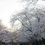 今年の花見は歩いて行ける範囲で我慢。谷中の桜並木経由、上野公園まで桜を追って徒歩で行って帰る🌸/旧暦3/4・己巳