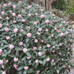 桜リレーも早回しだけど、この花も(◎_◎;)。いつもなら微かな香り⇒花探しなのが、今年は、香りと満開の時期が同時な気がする沈丁花。/旧暦2/13・己酉