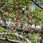 今年の「染井吉野」の開花は早い、超早いっ!…と開花予報が出てますが、我が「勝手・標本木」を見に行ったら、ああホントだ!もう咲きそう(◎_◎;)/旧暦2/19・乙卯