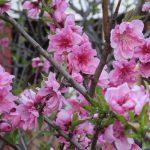 七十二候は「桃始笑」に。「咲く」に「笑」の字を当てるセンスが大好きな、一押しの暦コトバです(*'▽')/旧暦2/18・甲寅