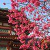 二十四節気は「啓蟄」に。土中で眠っていた小動物たちは外へ外へ…と暦。つられて外出したら寒緋桜がすでに満開(*'▽')/旧暦2/11・丁未