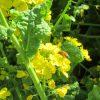 七十二候は「菜虫化蝶」に。と暦が言いだすと、ああ、眺めに行きたいなぁ菜の花畑のいちめんの菜の花。/旧暦2/21・丁巳