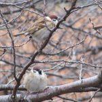 七十二候は「雀始巣」に。雀が巣を作り始める頃と暦は言うけど、いったいどこで産んで育ててるんだろねぇ。/旧暦2/28・甲子