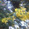 3月8日は「ミモザの日」。数日前から花屋のミモザを眺めて過ごすもみなイマイチ。代わりに民家の庭で見つけました←眺めるだけ(*'▽')/旧暦2/14・庚戌