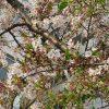 満開の時期長かった染井吉野も「葉桜」に。ピンクvs黄緑を眺めて、また食べたくなる「桜餅」/旧暦3/14・己卯