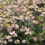 やっと眺めたリアル「八重桜」。ピンクも黄色も、今が盛りと咲いていました。八重が散ると、ああ、夏がそこまで。/旧暦3/26・辛卯