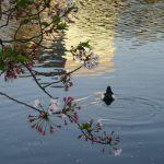 七十二候は「鴻雁北」に。雁はいませんが、不忍池に来た水鳥達も旅たちの頃。もう今日あたりは誰もいないかもなぁ(T_T)/旧暦3/18・癸未