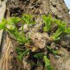 東京の樹・銀杏。今年は芽生えがやや早い?そう気づけば、焦って眺めたおしたく!面白いんだもん(*'▽')/旧暦3/29・甲午
