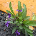 道端にすみれ発見!早々と咲いてたのとは違う種類かな?花々は人知れずここにも咲く。/旧暦3/23・戊子