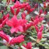 街路の躑躅(つつじ)最盛まじかっ!きっと根津神社のつつじ苑も、皇居の庭の「久留米躑躅」も華やかに咲いてるだろねぇ…と想像す。/旧暦4/5・庚子