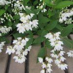 今日は新月、旧暦も4月=卯月に入りました。となると…咲いてましたっ!ご近所の庭からはみ出して咲く卯の花(*'▽')/旧暦4/1・丙申