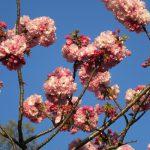 江戸人の桜開花の目安に倣えば、そろそろ桜リレーは「八重桜」が爆走中…のはず。不忍池や上野公園どんなかなぁ?/旧暦3/19・甲申