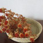 七十二候は「紅花栄」に。例年なら不思議と暦どおりに花屋に並ぶ紅花。が、今年はないなぁ。ドライでどうだ(*'▽')。/旧暦・閏4/8・癸酉・上弦