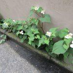 「夏の七草探し」どうする?いや外歩きできないし…と思ったけど、この花見ちゃったらやっぱりね。ひとつ目は「どくだみ」/旧暦・閏4/3・戊辰