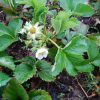 母の畑のいちごの花を写真で眺め、ああ粒不ぞろいの「露地いちご」食べたいなぁ。…と思いつつ立派ないちごいただきます🍓。/旧暦4/19・甲寅
