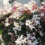二十四節気は「立夏」に。どさくさに紛れるように季節は夏かぁ~。ちょっとそこまで出かけたら白い初夏の花が咲いてました。/旧暦4/13・戊申