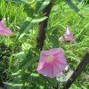 今年の「夏の七草」探しは「梅雨告げの七草」。その、6つ目はピンクでかわいいこの花「昼顔」にしますっ!/旧暦・閏4/18・癸未