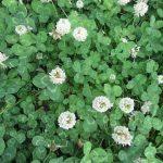 今年の「夏の七草」は、梅雨前に咲く「梅雨告げの七草」探しと洒落るはずが…うーん。これはどう?2つ目は「白詰草(しろつめくさ)」。/旧暦・閏4/11・丙子