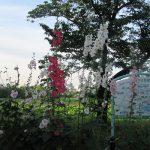 自粛生活でも「夏の七草」探し決行中!今年は「梅雨告げ花」。その5つ目は「立葵」だが、もはや咲きすぎ?/旧暦・閏4/16・辛巳