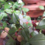 今年の夏の七草は「梅雨告げの七草」に。その3つ目は、我がベランダに咲く、白い「常盤(ときわ)露草」にいたしましたっ!/旧暦・閏4/13・戊寅