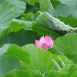 七十二候は「蓮始開」に。不忍池の蓮花は、例年、暦どおりに開花。となれば数日前の蕾もぽっかり咲いているかなぁ(*'▽')/旧暦5/22・丙辰