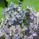 梅雨空も似合う「紫陽花」の花。ああ、今年はもう色褪せちゃったぁ(:_;)。こうなると梅雨明け近し盛夏近し。/旧暦5/14・戊申