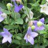 この酷暑の中、発作的に「秋の七草」探しスタート!まずは、ご近所の「桔梗」。ってかもう終わりかけてるので焦ってますっ(*'▽')。/旧暦6/22・丙戌