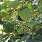 今日は「長崎原爆忌」。暑かろうが何だろうが、この柿の樹は眺めに行く。被爆柿の二世の樹。/旧暦6/20・甲申