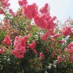 本来ならば、今日あたり帰省。…と、ご近所のいきなり燃えるような「百日紅」見上げて、わが身は東京にて「八月盆」。/旧暦6/23・丁亥