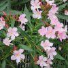 今日は「広島原爆忌」。ああ、そういえば、広島の花「夾竹桃」は咲いただろうか? やっと、ピンクに遭遇(*'▽')/旧暦6/17・辛巳