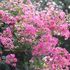 「百日紅」も「百日白」も、今年は咲くのが超遅く、まだ30日目。もう盛んに咲いて、あと70日もつのか?と勝手に焦る(*'▽')/旧暦7/18・辛亥