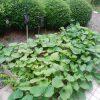 江戸人の地口=洒落を由来に、10月13日の今日は「さつまいもの日」。母の畑も収穫まじか(*'▽')/旧暦8/27・己丑