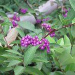 七十二候は「蟋蟀在戸」に。今年は寒くなるのがちょっと早い。草叢では秋虫なんかもうぜんぜん鳴かず。代わりに美しい実り(*'▽')/旧暦9/3・乙未