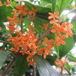 おや?このオレンジの花は?見上げれば、金木犀がたくさん咲いてました。台風来る前に見つけてよかったぁ(*'▽')/旧暦8/24・丙戌・下弦
