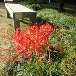秋彼岸過ぎて一週間。やーっと彼岸花こと曼珠沙華の季節到来みたいです。in 小石川後楽園(*'▽') /旧暦8/18・庚辰