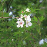 ふと見上げると桜咲く🌸。ああ、もう「冬桜」が咲く日々ですねぇ。ホントは青空背景に眺めたいものですが…。/旧暦8/26・戊子