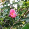 七十二候は「山茶始開」に。冬告げ花「山茶花」が花開く季節到来(*'▽')。まだ咲き始めですが、満開まではすぐ。冬近し。/旧暦9/23・乙卯・下弦