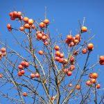 都会の柿の樹。実りは収穫されることなく、まず葉が落ち、枝先に残る柿の実。ああ、もったいないなぁ。/旧暦10/15・丙子